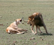 Lions after mating