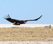 Lapped faced vulture