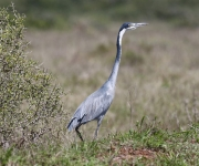 Black headed heron