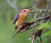 African Pygmy-Kingfisher (eats insects)